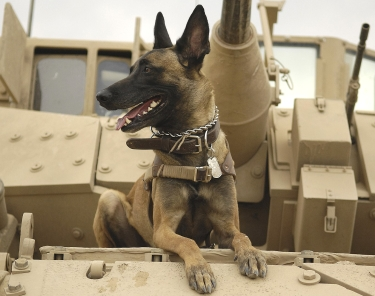 Belgian Malinois by U.S. Air Force photo by Staff Sgt. Stacy L. Pearsall