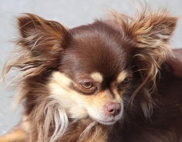 Chihuahua by Peter van der Sluijs