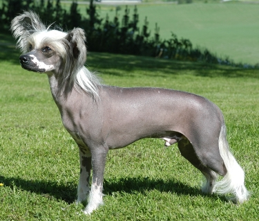 Chinese Crested Dog by Tommy Gildseth