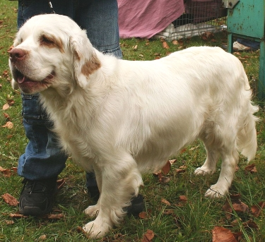 Clumber Spaniel by Pleple2000