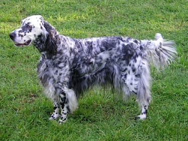 English Setter by Elf