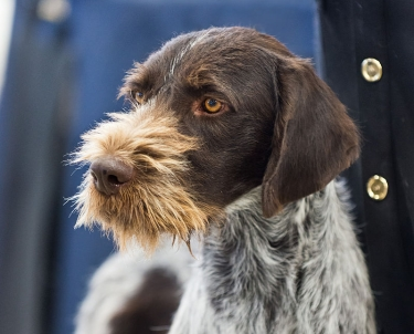 German Wirehaired Pointer by SheltieBoy