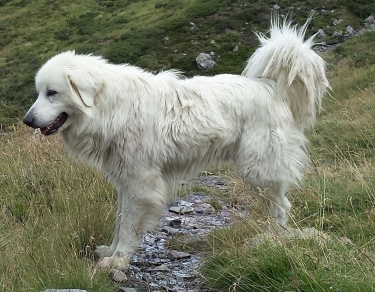 Great Pyrenees by Emma.Martinet