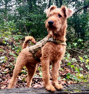 Irish Terrier by Andrew Clark