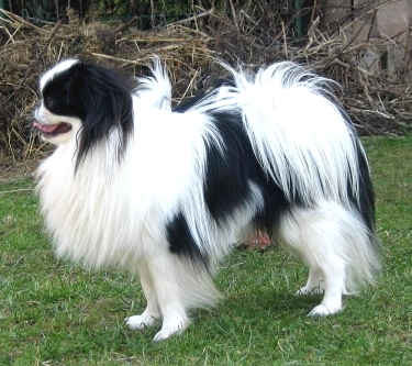 Japanese Chin by Pointer8