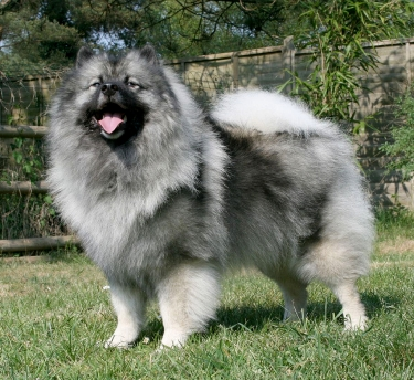 Keeshond - dancing with wolves - Majic.