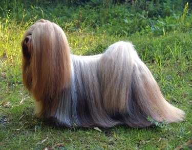 Lhasa Apso by Lhasaapso