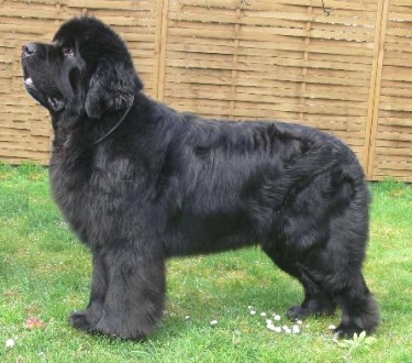 Newfoundland Dog by Heidi Mueller