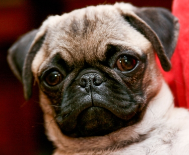 Pug by existentist
