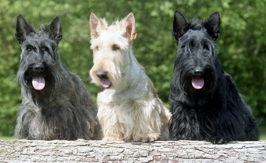 Scottish Terrier by Walescot