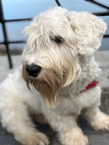 Sealyham Terrier by Chuck in MA