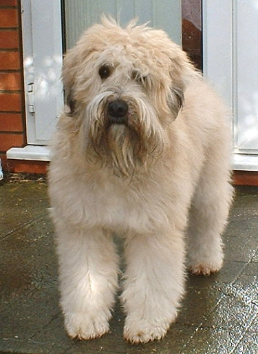 Soft Coated Wheaten Terrier by ACBest