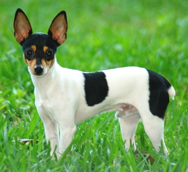 Toy Fox Terrier by Jagrolet
