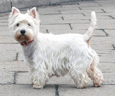 West Highland White Terrier by Christopher Walker from Krakow, Poland