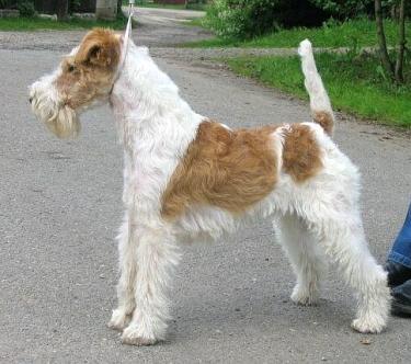 Wire Fox Terrier by Simona Nováková