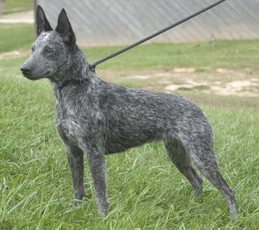 Australian Stumpy Tail Cattle Dog by Wendy Hodges