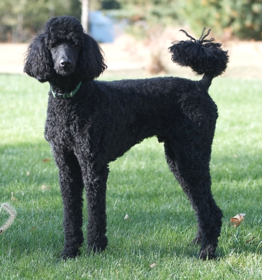 Standard Poodle by Tim Wilson from Blaine, MN, USA