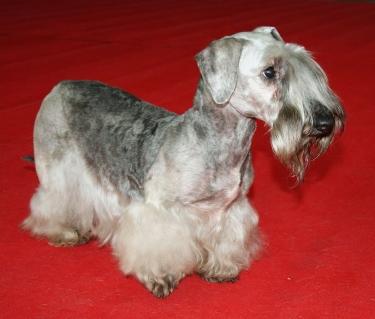 Cesky Terrier by Pleple2000