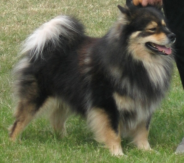 Finnish Lapphund by Apdevries