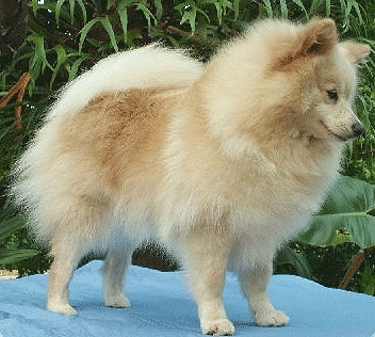 German Spitz by Diane Armstrong