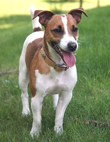 Jack Russell Terrier by Plank