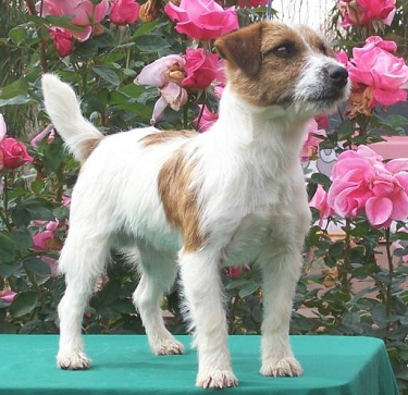 Russell Terrier by Russellsterrier at English Wikipedia