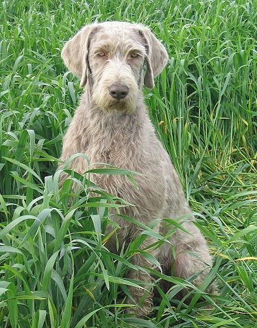 Slovakian Wirehaired Pointer by Ing. Urban Michal (breeders HP)