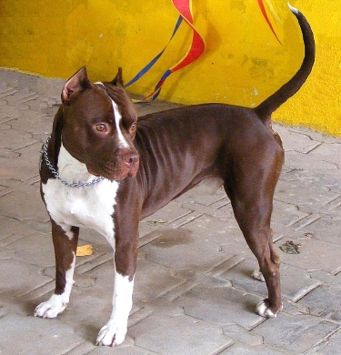 American Pit Bull Terrier by Nacasma