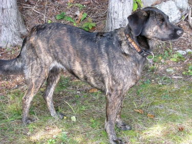 Treeing Tennessee Brindle by Hummelong
